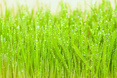 Green spring grass with dew Royalty Free Stock Images