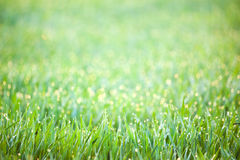 Green Spring Grass with drops of dew -  defocused background Stock Image