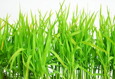 Green spring grass isolated on white background Royalty Free Stock Photos