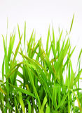 Green spring grass isolated on white background Stock Photography
