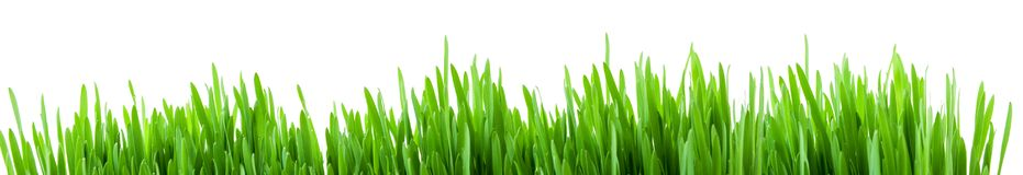 Green spring grass sprouts isolated on white background, panorama format for banner. Green spring grass sprouts isolated on white background, wide panorama royalty free stock photo