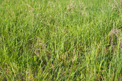 Green spring grass under the sun`s rays Royalty Free Stock Images