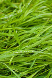 Green spring grass in water drops Stock Photo