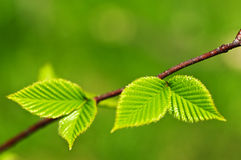Green spring leaves Royalty Free Stock Image