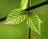 Green spring leaves Royalty Free Stock Photography