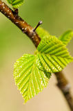 Green spring leaves Stock Images
