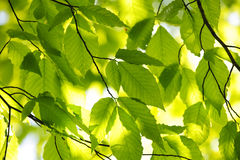 Green spring leaves Royalty Free Stock Photo