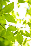 Green spring leaves Stock Photography