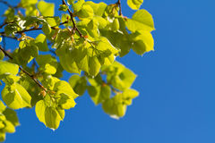 Green spring leaves. Over blue sky Stock Photography