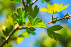 Green spring leaves Royalty Free Stock Photos