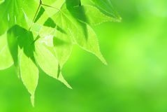 Green Spring Leaves Background Royalty Free Stock Photography