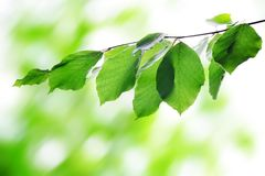 Green spring leaves of beech. Royalty Free Stock Image