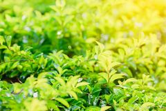 Green spring leaves with bokeh lights for nature background. Stock Image