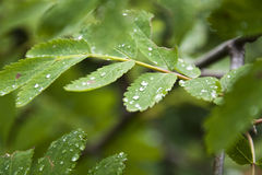Green spring leaves with drops of morning dew Stock Photo