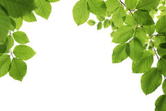 Green, spring leaves isolated on white Royalty Free Stock Photo