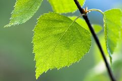 Green spring leaves on tree in forest Royalty Free Stock Photo