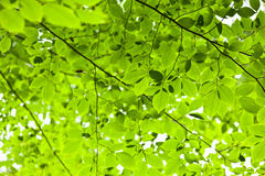 Green spring leaves Stock Image