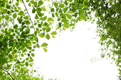 Green spring leaves on white background Royalty Free Stock Photos