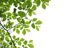 Green spring leaves on white background Royalty Free Stock Photography