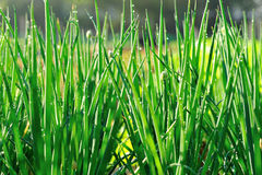 Green spring onion in growth Stock Image