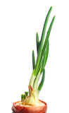 Green spring onion. Vegetable plant, isolated Royalty Free Stock Image