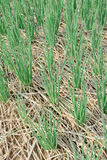 Green  spring onions in field Stock Image