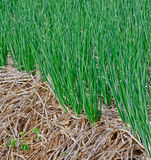 Green  spring onions in field Royalty Free Stock Photos