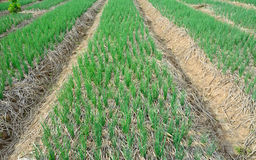 Green  spring onions in field Royalty Free Stock Images