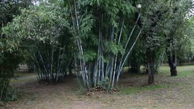 Green spring park with bamboo trees. In Changsha, Hunan province, China. The bamboos are a subfamily (Bambusoideae) of flowering perennial evergreen plants in stock footage