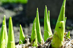 The green spring plant grows from under ground. The green spring macro plant grows from under ground Stock Photo