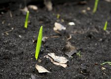 Green fresh spring plant sprout in the ground royalty free stock images