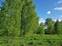 Green spring scenery. Birch trees with fresh leaves foliage royalty free stock images