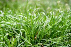 Green spring season grass royalty free stock photo