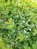 Green spring shrub with small white flowers Stock Photography