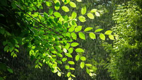 Green spring tree in rainy weather. Warm summer rain in forest. Wet branches of tree stock video footage