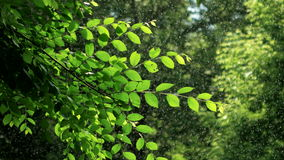 Green spring tree in rainy weather. Warm summer rain in forest. Wet branches of tree stock video