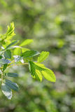 Green spring twig on blurred background. Freshness leaves at springtime. Closeup Royalty Free Stock Images