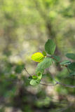 Green spring twig on blurred background. Freshness leaves at springtime. Closeup Royalty Free Stock Photo