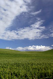 Green Spring Wheat. Rolling Hills of Spring Green Wheat Beneath Blue Sky and Dramatic White Cumulous Clouds, Central California Royalty Free Stock Photography