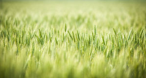 Green, Spring, Wheat Field with Soft Selective Focus Stock Images