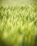 Green, Spring, Wheat Field with Soft Selective Focus Royalty Free Stock Photography