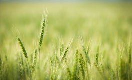 Green, Spring, Wheat Field with Soft Selective Focus Royalty Free Stock Images