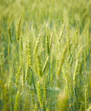 Green, Spring, Wheat Field with Soft Selective Focus Royalty Free Stock Photo