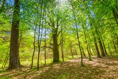 Green springtime forest Royalty Free Stock Photo