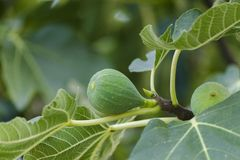 Green springtime raw fig fruit branch with leaves. Selective focus stock image