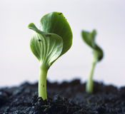 Green sprout. Two Green sprout Stock Images