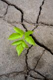 Green sprout. Small green sprout in the dry cracked soil Stock Photos