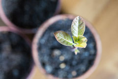 A green sprout of avocado growing out from soil stock image