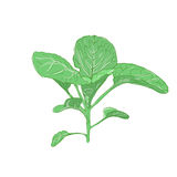 Green sprout cabbage Royalty Free Stock Photo