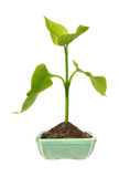 Green sprout in the ceramic flower pot Stock Photos